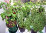 Травы на подоконнике выращивание – Какие травы можно выращивать зимой на подоконнике?