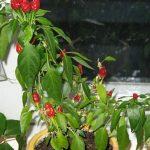 Декоративный перчик комнатный – сорта, правила выращивания в горшке, уход за растением
