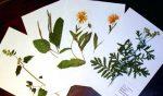 Гербарий для садика – Как сделать гербарий с детьми 3 варианта » Татьяна Бедарева