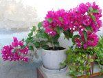 Не цветет бугенвиллия что делать – Почему не цветет бугенвиллия