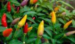 Перец домашний чили – Перец чили в домашних условиях на подоконнике: выращивание и уход