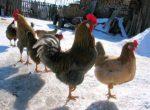 Курятник для кур несушек на зиму – Как построить тёплый курятник на зиму своими руками