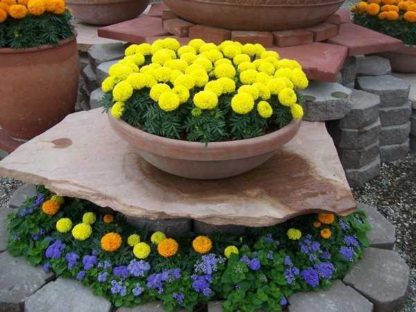 бархатцев семена низкорослых но с цветком